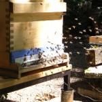 Bienenflug an Dadant-Beute