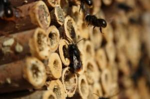 Gehörnte Mauerbiene (Foto: Markus Gastl)
